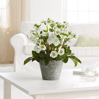 Pflanze Christrose in Weiss, Grau und Grün