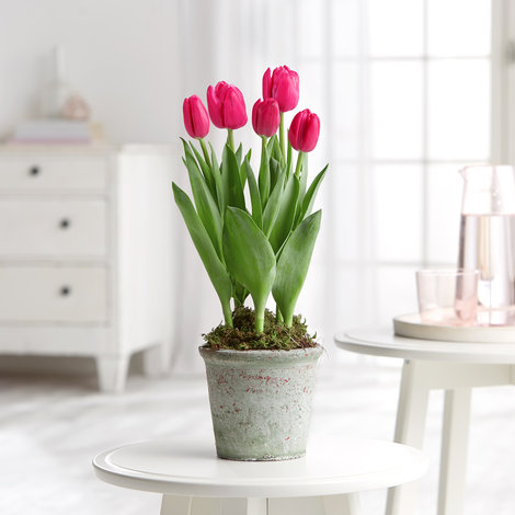 Tulpen in Pink im Topf in Rosa, Grau und Grün