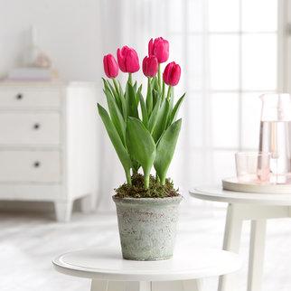 Tulpen in Pink im Topf