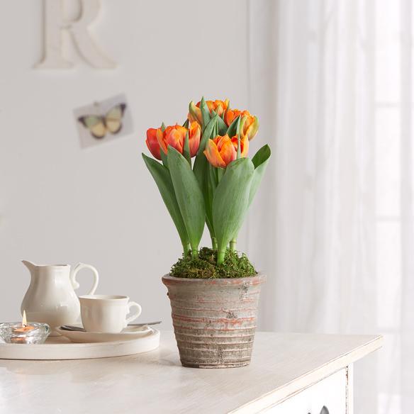 Tulpen in Orange im Topf in Orange, Grau und Grün