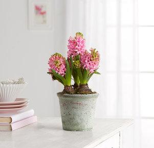 Pflanze Hyazinthen im Tontopf in Pink, Grau und Grün
