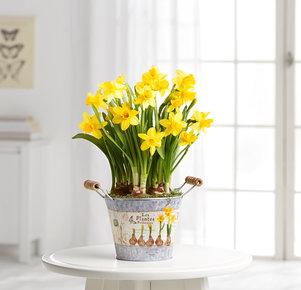 Pflanze Gelbe Narzissen in Gelb, Grau und Grün