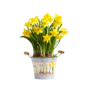 Pflanze Gelbe Narzissen