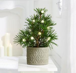 Pflanze Wooden Country in Grau und Grün