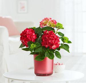 Hortensie in Rot im Glasübertopf in Rot und Grün