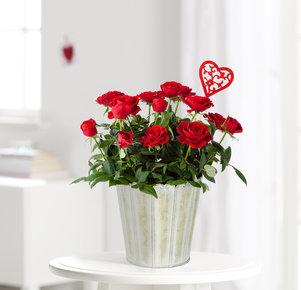 Pflanze Topfrose in Rot mit Herz in Rot und Grün