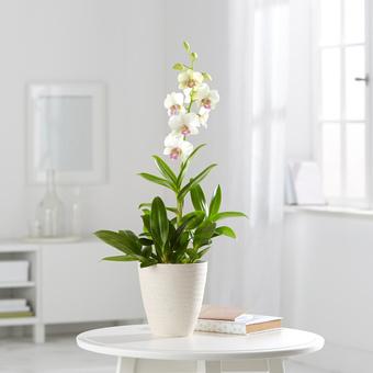 Orchidee Snow Jade im Keramik-Übertopf