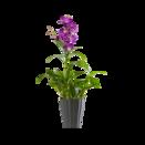 Pflanze Orchidee Maupiti
