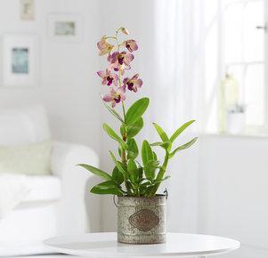 Pflanze Orchidee Sally in Gelb, Rosa und Grün