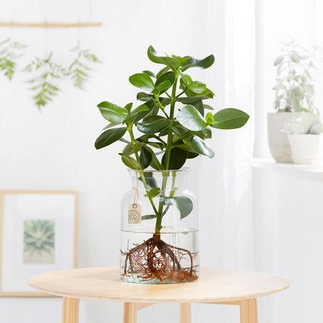 wasserpflanze mit eco glasvase online kaufen. Black Bedroom Furniture Sets. Home Design Ideas