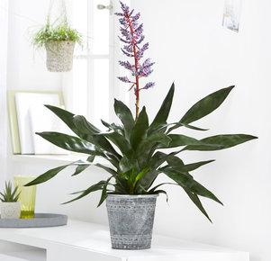 Pflanze Aechmea Tiger in Rot, Blau, Lila, Grau und Grün