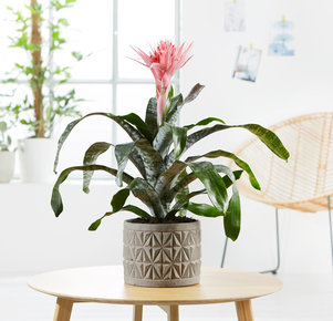 Pflanze Pinke Aechmea in Pink, Grau und Grün