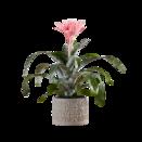 Pflanze Pinke Aechmea