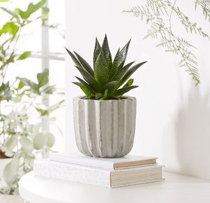 Pflanze Aloe Vera in Grau und Grün