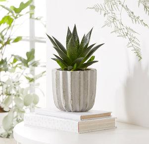 Aloe Vera Pflanze im Betontopf in Grau und Grün