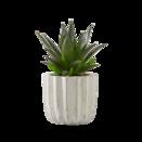 Pflanze Aloe Vera