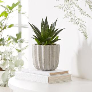 Aloe Vera Pflanze im Betontopf
