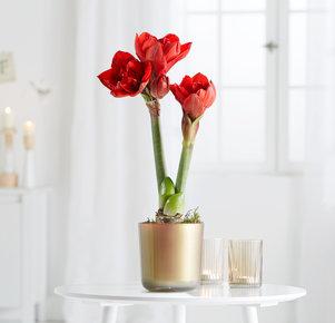 Pflanze Rote Topf-Amaryllis in Rot, Gold und Grün