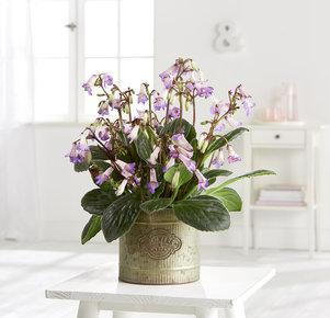 Pflanze Lila Bhoodi in Lila, Grau und Grün