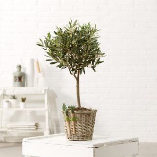 Olivenbaum im Weidenkorb