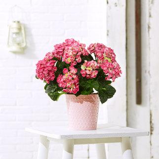Hortensie Curly Wurly in Pink im Übertopf